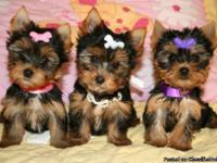 Micro Tea Cup Yorkie Puppies for Sale in Buffalo, New York