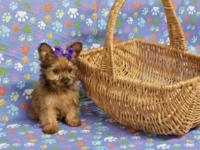 Yorkie Puppy: female, 9wks. old - Had first vaccine,