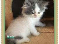 I have a litter of Doll Face Persian kittens that were