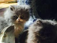 Liter of five doll face Persian kittens. All are male.