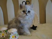 PEPPER - BEAUTIFUL DOLL FACED PERSIANS. GREAT COATS,