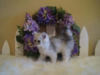 TREY =DOLL FACE PERSIAN MALE. STUNNING COLORS & SWEET
