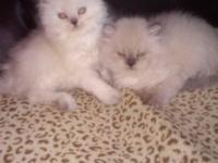 I have two gorgeous Himalayan Male kittens.. one is a