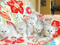 Stunning dollface persian kittens for sale. Our little