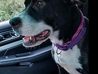 Dollly's story Dolly came to us Heartworm positive and