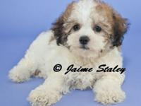 Dolly is a female shichon. Born 4-14-15 she is ready to