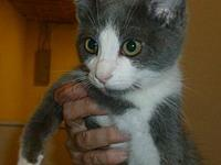 Dolly's story Dolly is a 4 mo. old Grey and white DSH