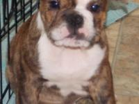 Dolly is a brindle female English Bulldog puppy with