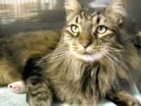 Domestic Long Hair - Allie - Medium - Adult - Female -
