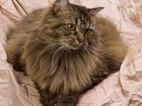 Domestic Long Hair - Aura - Large - Adult - Female -