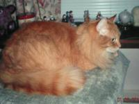Domestic Long Hair - Beau - Medium - Adult - Male -