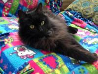 Domestic Long Hair - Black - Adelaide - Medium - Adult