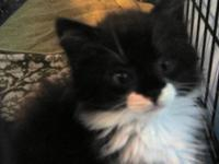Domestic Long Hair - Black and white - Kittens - Medium