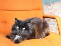 Domestic Long Hair - Black and white - Lady Churchill -