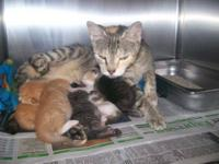 Domestic Long Hair - Bottle Fed Kittens - Medium - Baby