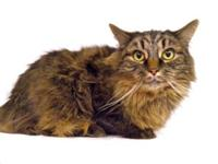 Domestic Long Hair - Brown Gibby is a sweet girl who