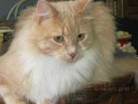 Domestic Long Hair - Buff and white - Finnegen - Medium