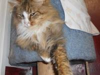 Domestic Long Hair - Calli - Large - Baby - Female -