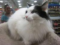 Domestic Long Hair - Dilia - Medium - Adult - Female -