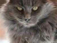 Domestic Long Hair - Dixie - Large - Adult - Female -