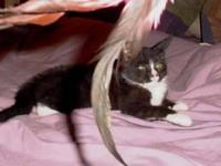 Domestic Long Hair - Dusty - Medium - Young - Male -