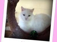 Domestic Long Hair - Felicia's Female Kitten - Medium -