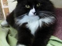 Domestic Long Hair - Fluffy 11499 - Small - Baby - Male
