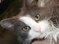 Domestic Long Hair - Gracie - Medium - Young - Female -