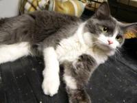 Domestic Long Hair - Gray and white - Belle - Medium -
