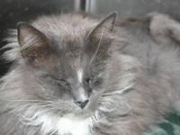Domestic Long Hair - Gray and white - Braydon - Medium