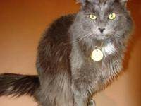 Domestic Long Hair - Gray and white - Emma - Medium -