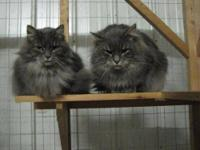 Domestic Long Hair - Gray and white - Mercy - Medium -
