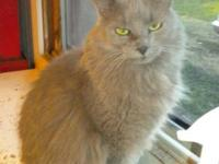 Domestic Long Hair - Gray - Fred - Large - Adult - Male