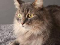 Domestic Long Hair - Gray - Jack - Small - Adult - Male