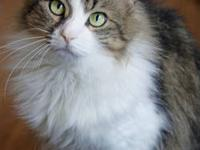Domestic Long Hair - Herbie - Large - Adult - Male -