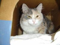 Domestic Long Hair - Katie - Medium - Adult - Female -
