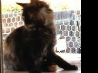 Domestic Long Hair - Kitten Kate - Medium - Baby -