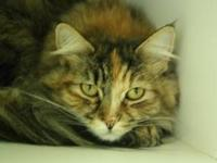 Domestic Long Hair - Lucy - Medium - Young - Female -