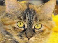 Domestic Long Hair - Millie - Medium - Young - Female -