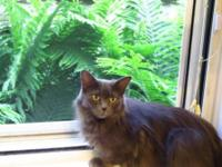Domestic Long Hair - Mischa - Small - Adult - Female -