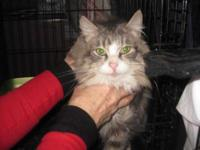 Domestic Long Hair - Mitzi - Medium - Adult - Female -