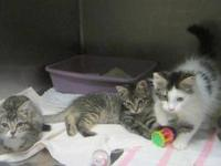 Domestic Long Hair - Ncis Litter Only Mcgee Left -