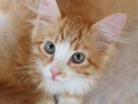 Domestic Long Hair - Nelson - Medium - Baby - Male -