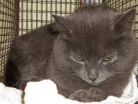Domestic Long Hair - Newberry - Petsmart - Medium -