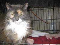 Domestic Long Hair - Nina - Medium - Adult - Female -