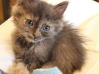 Domestic Long Hair - Noel - Medium - Baby - Female -