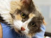 Domestic Long Hair - Olivia - Small - Adult - Female -