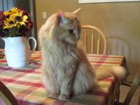 Domestic Long Hair - Orange ******COURTESY