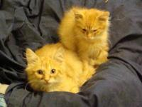 Domestic Long Hair - Orange and white These beautiful