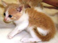 Domestic Long Hair - Orange and white - Bubby - Large -